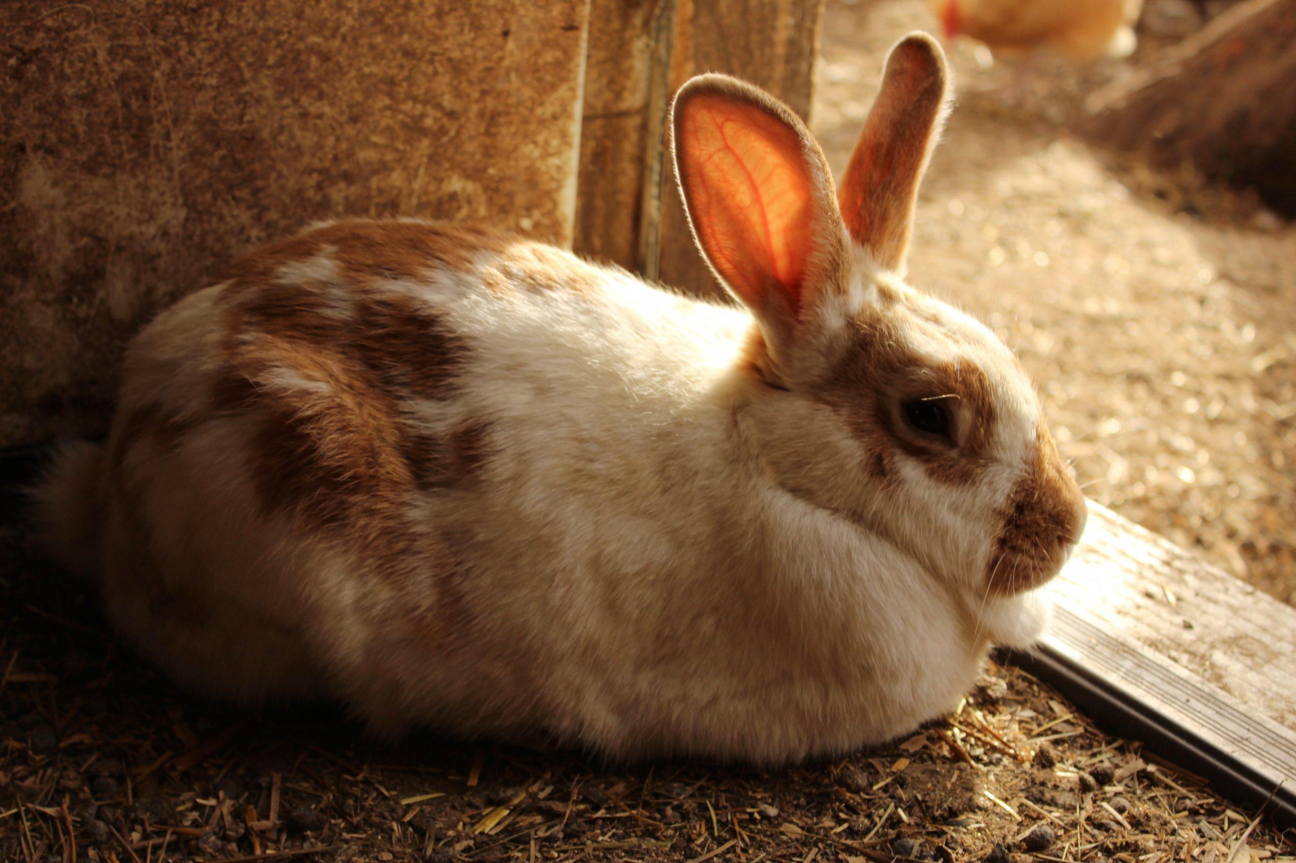 Причины красной мочи у кролика