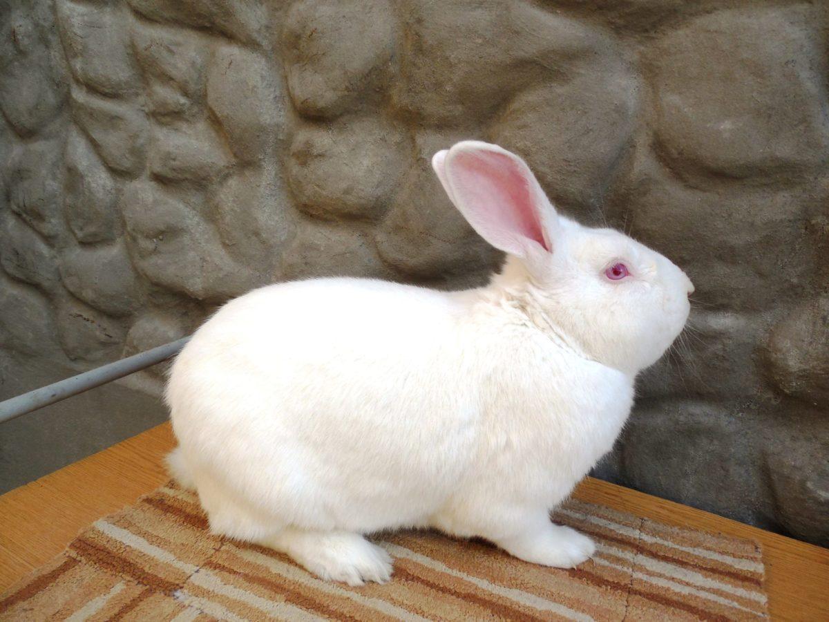 Отличия кролика белый паннон