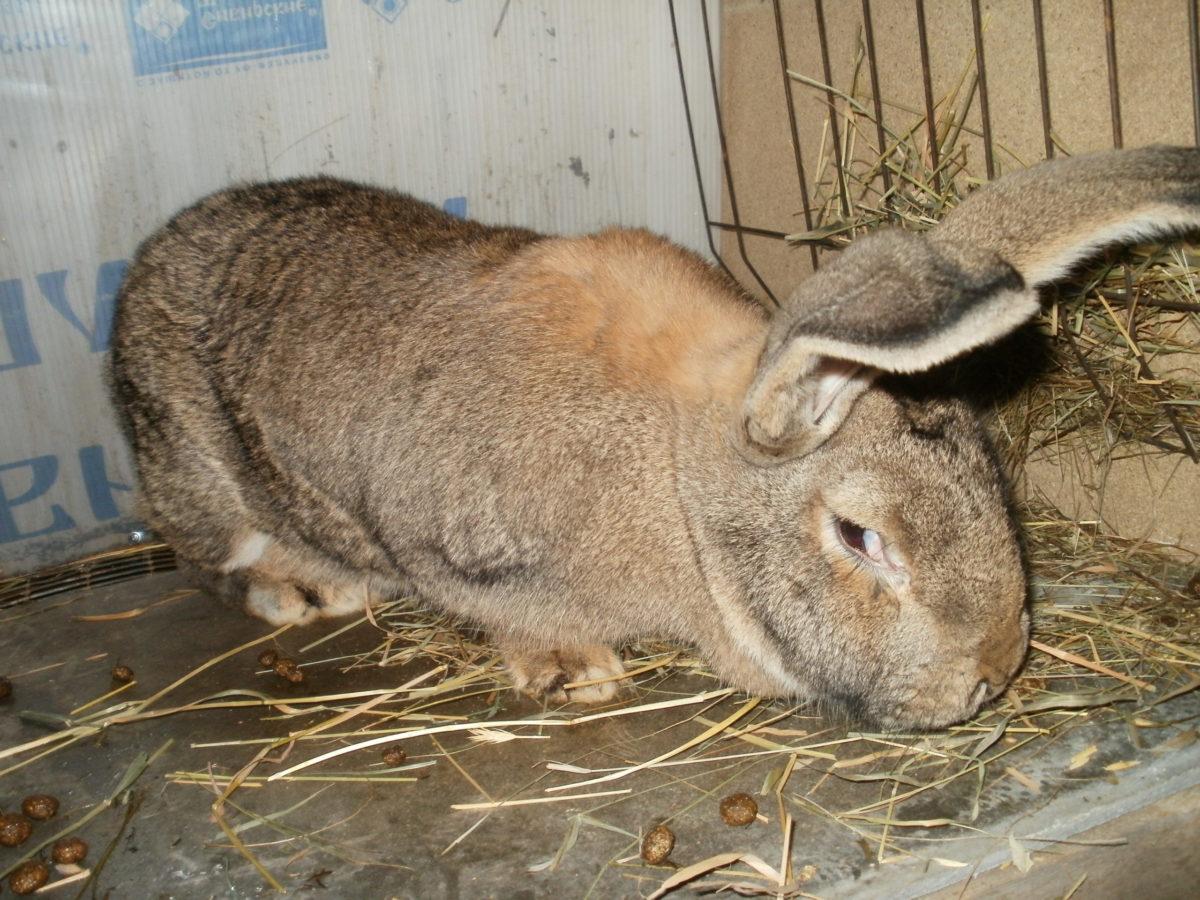 Доза Байтрила для кролей