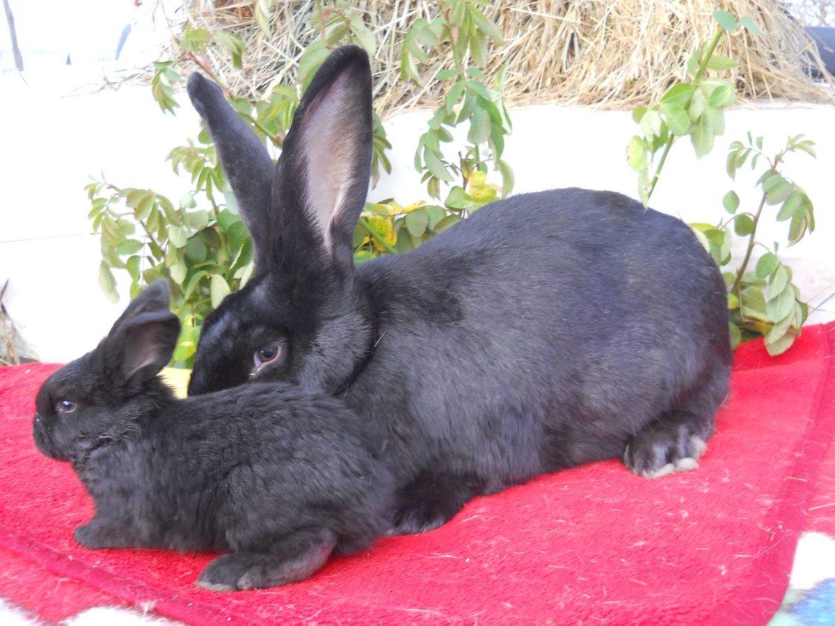 Выбор молодых кроликов Ризен