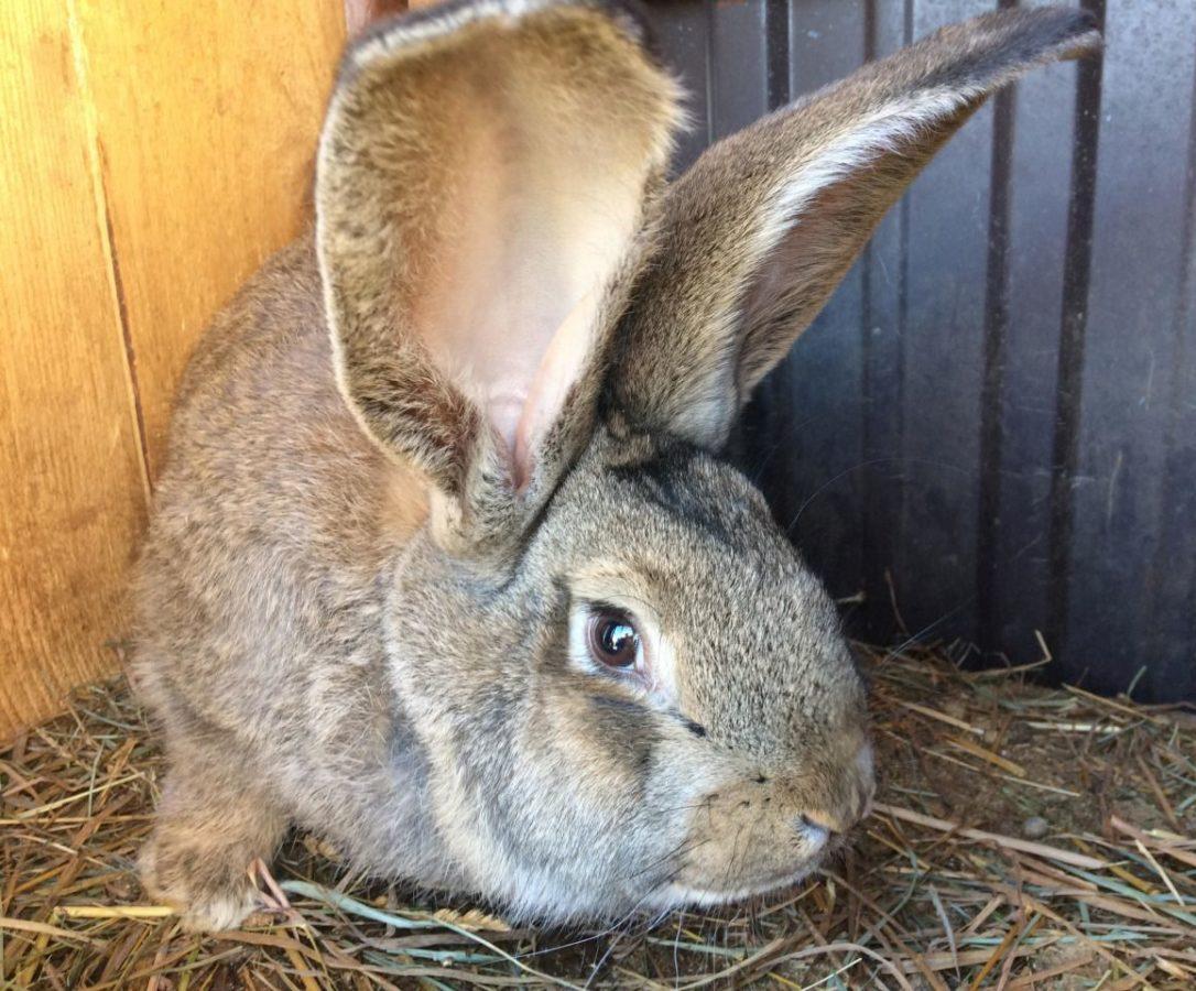 Разведение кроликов Ризен