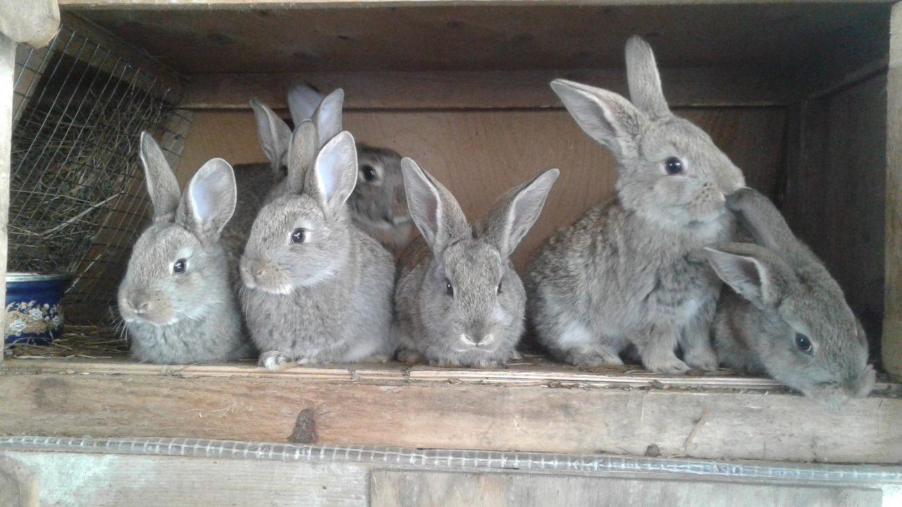 Разведение кроликов акселератов по методу Михайлова