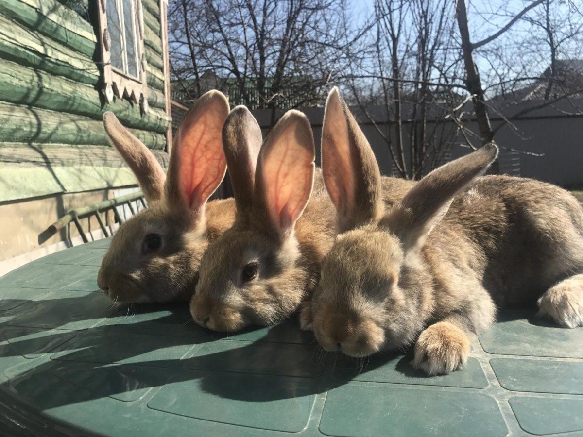 Достоинства и недостатки кроликов Ризен