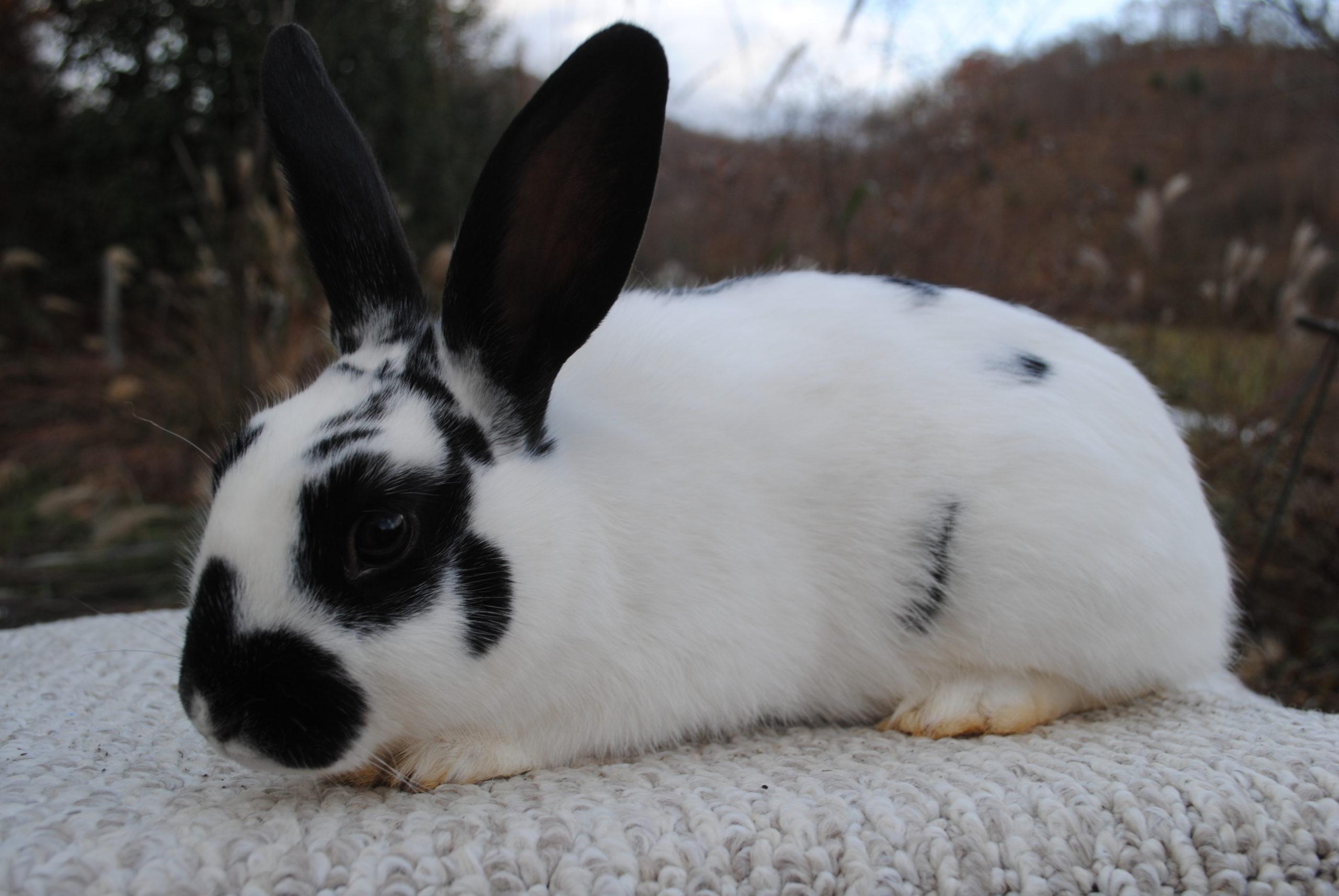 Разведение кроликов акселератов