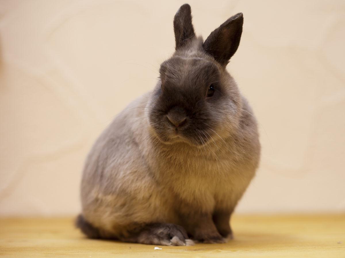 Коричневая масть сиамского кролика