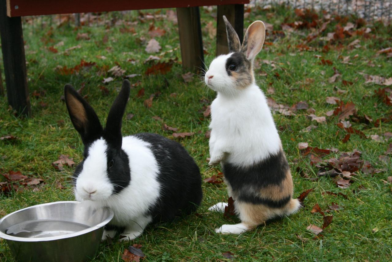 Уход за голландскими кроликами