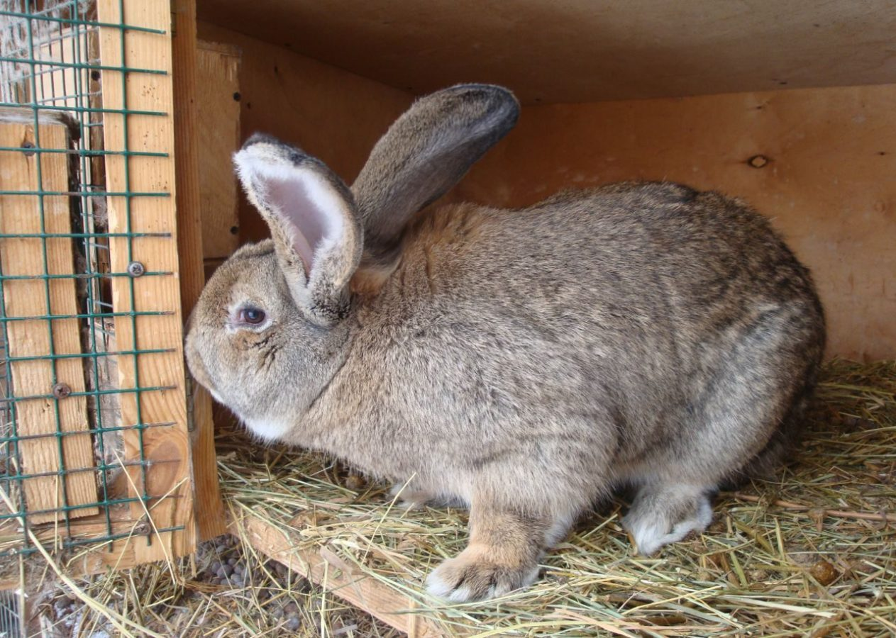 Питание кроликов Ризен