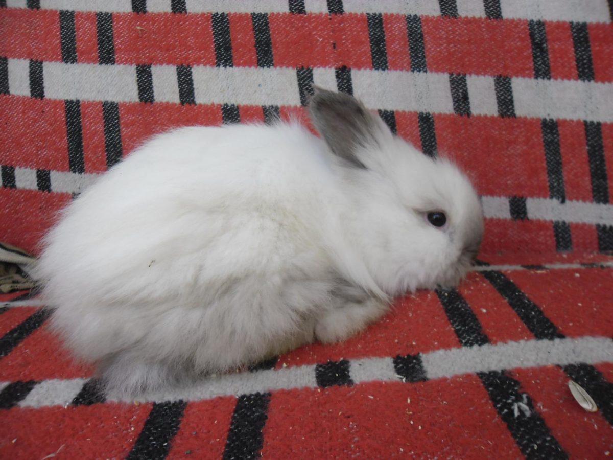 Голубая масть сиамского кролика