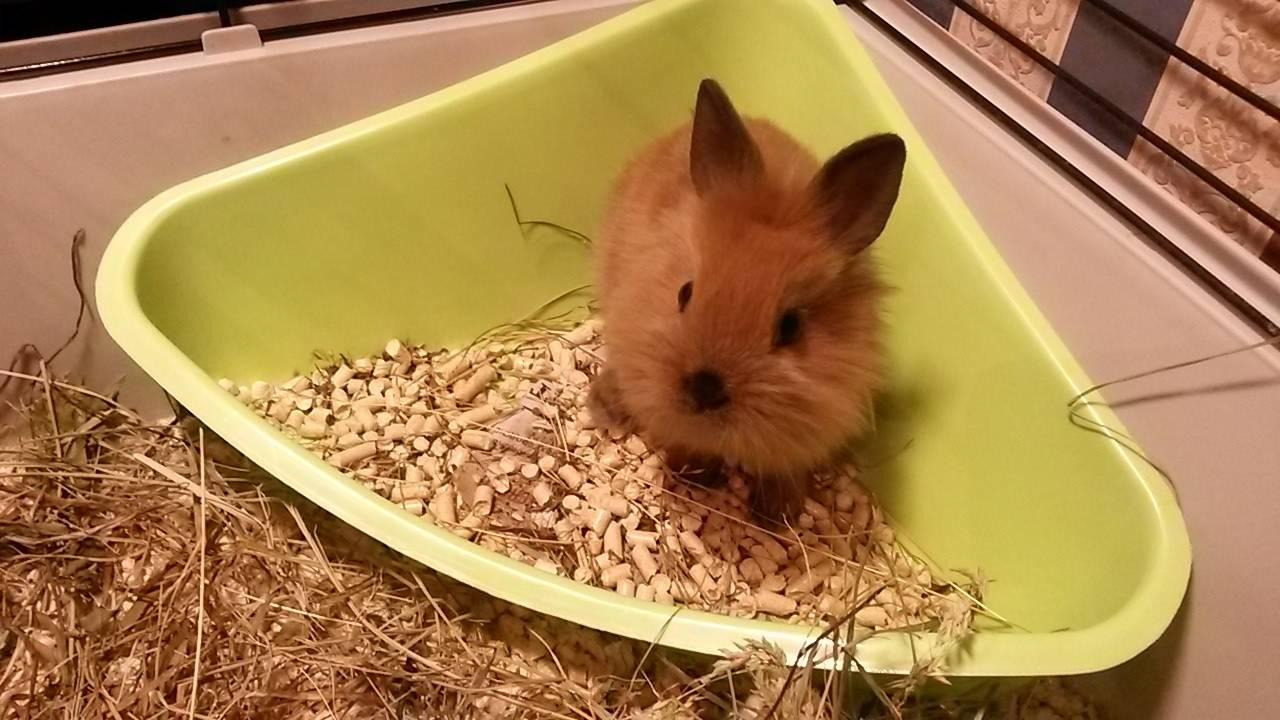 Приучить кролика к лотку