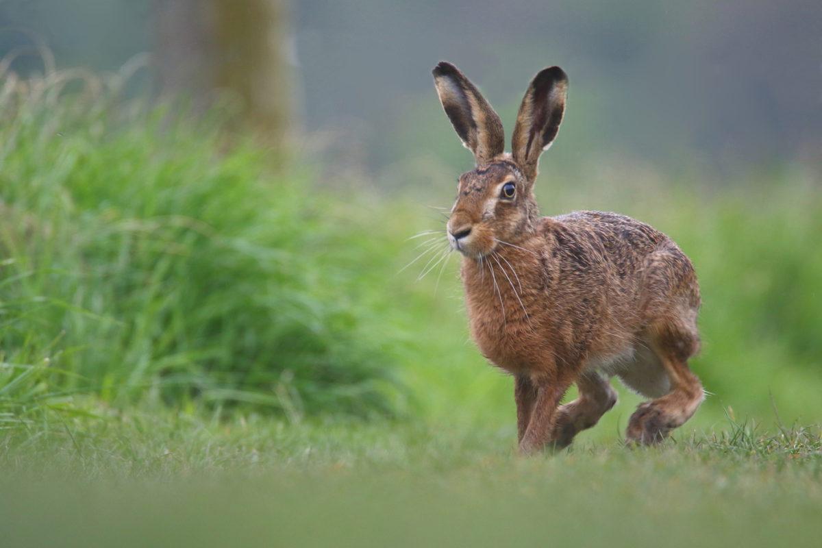 Заяц русак и заяц беляк