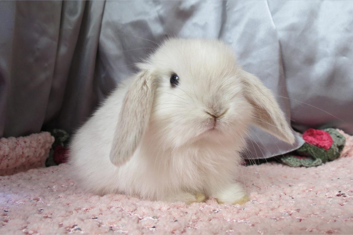 Описание вислоухого кролика