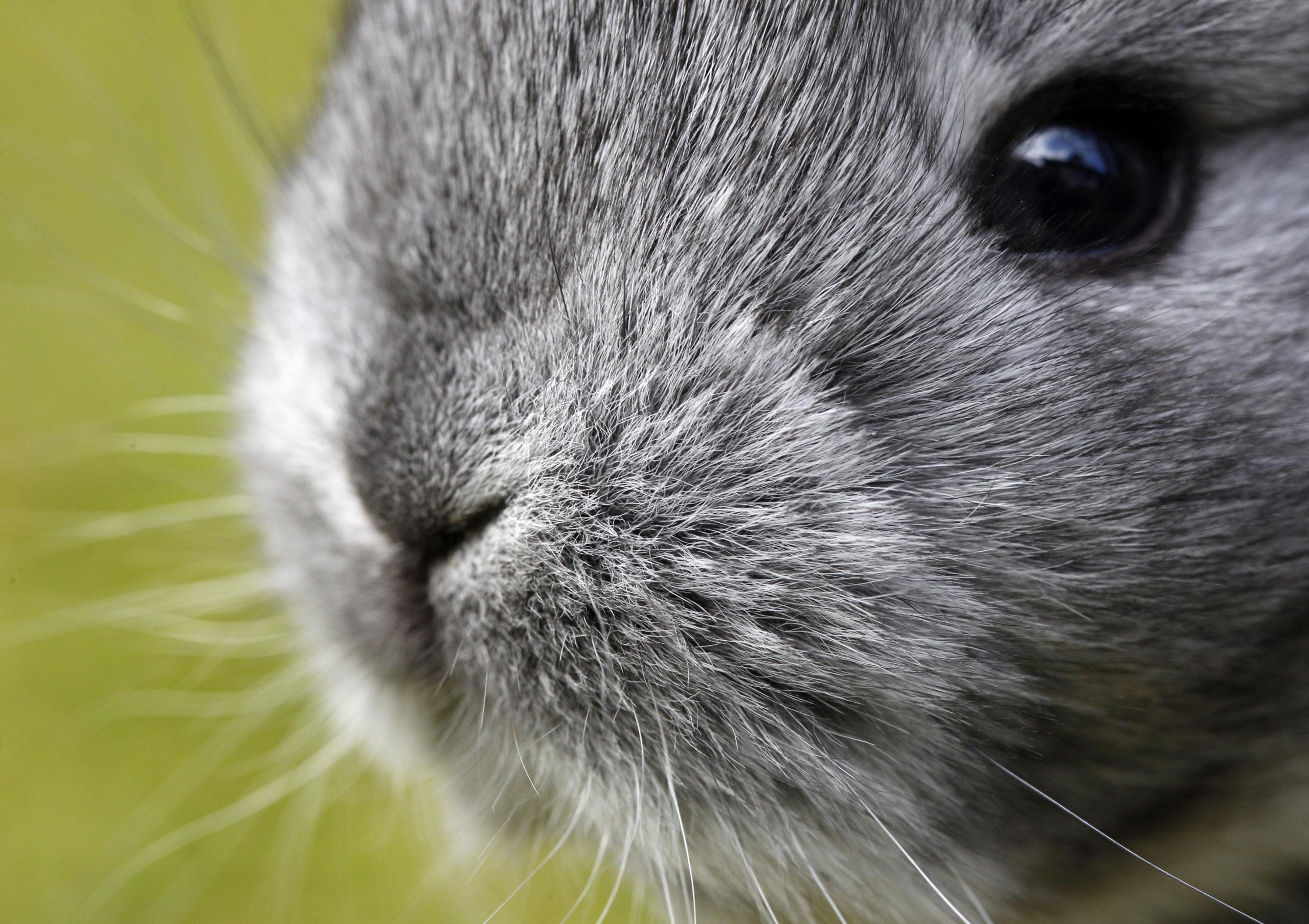 У кролика гноится глаз