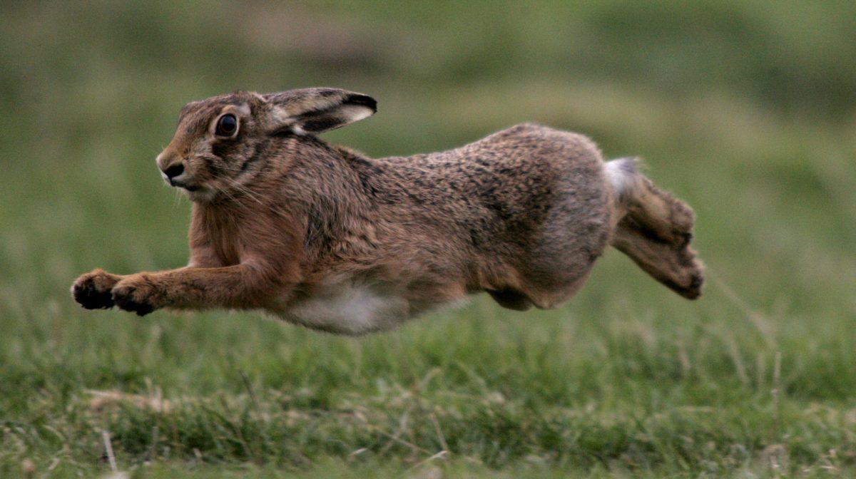 Скорость бегущего зайца