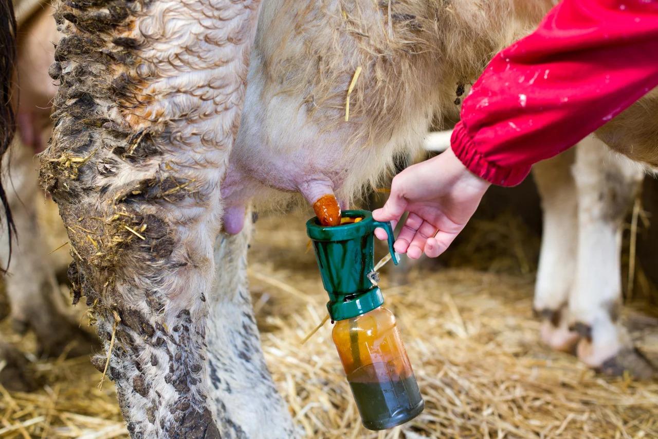 Народные методы лечения мастита у коров