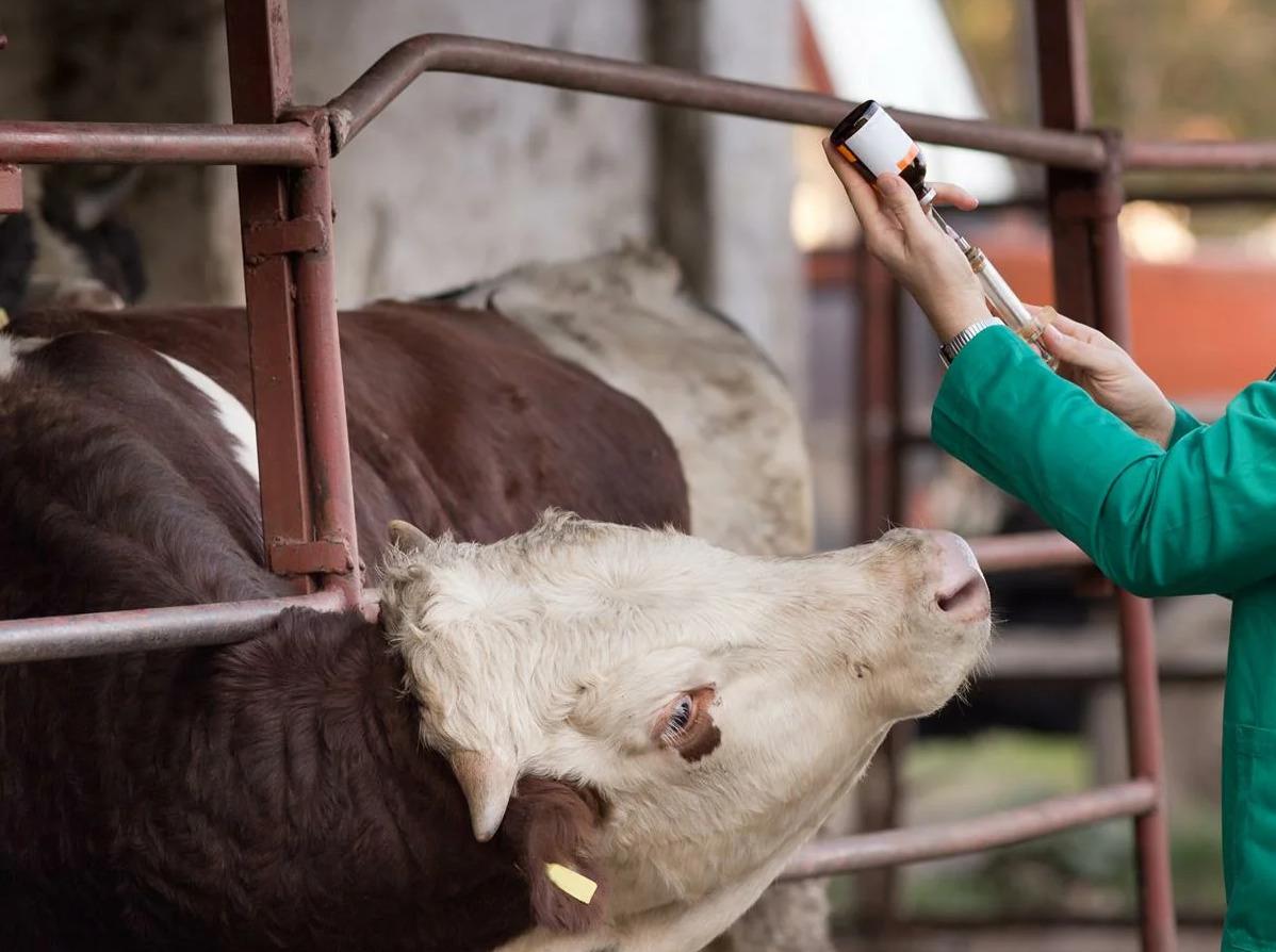Выделения у коровы лечение