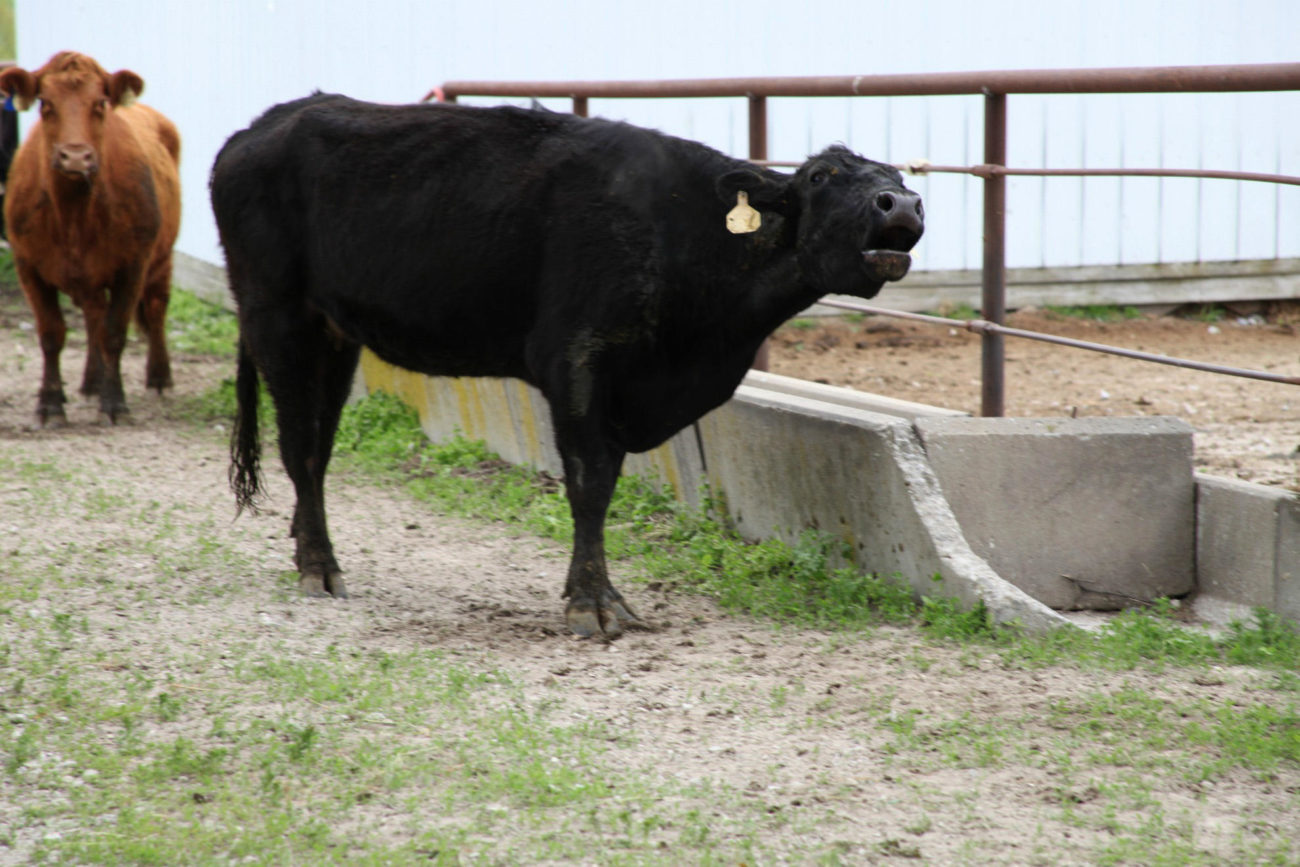 Способы общения у коров
