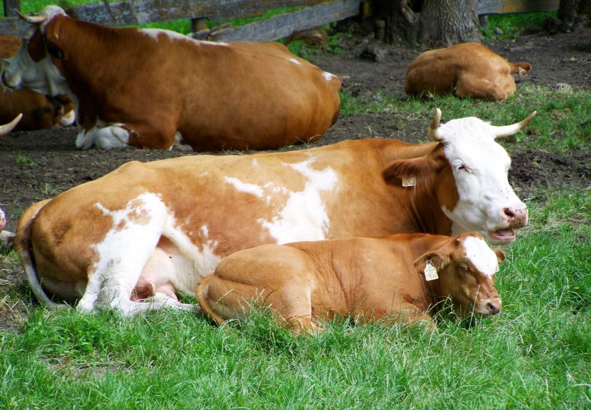 Длительность беременности у коровы