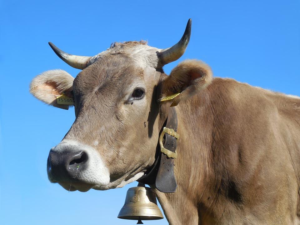 Колокольчик у коровы