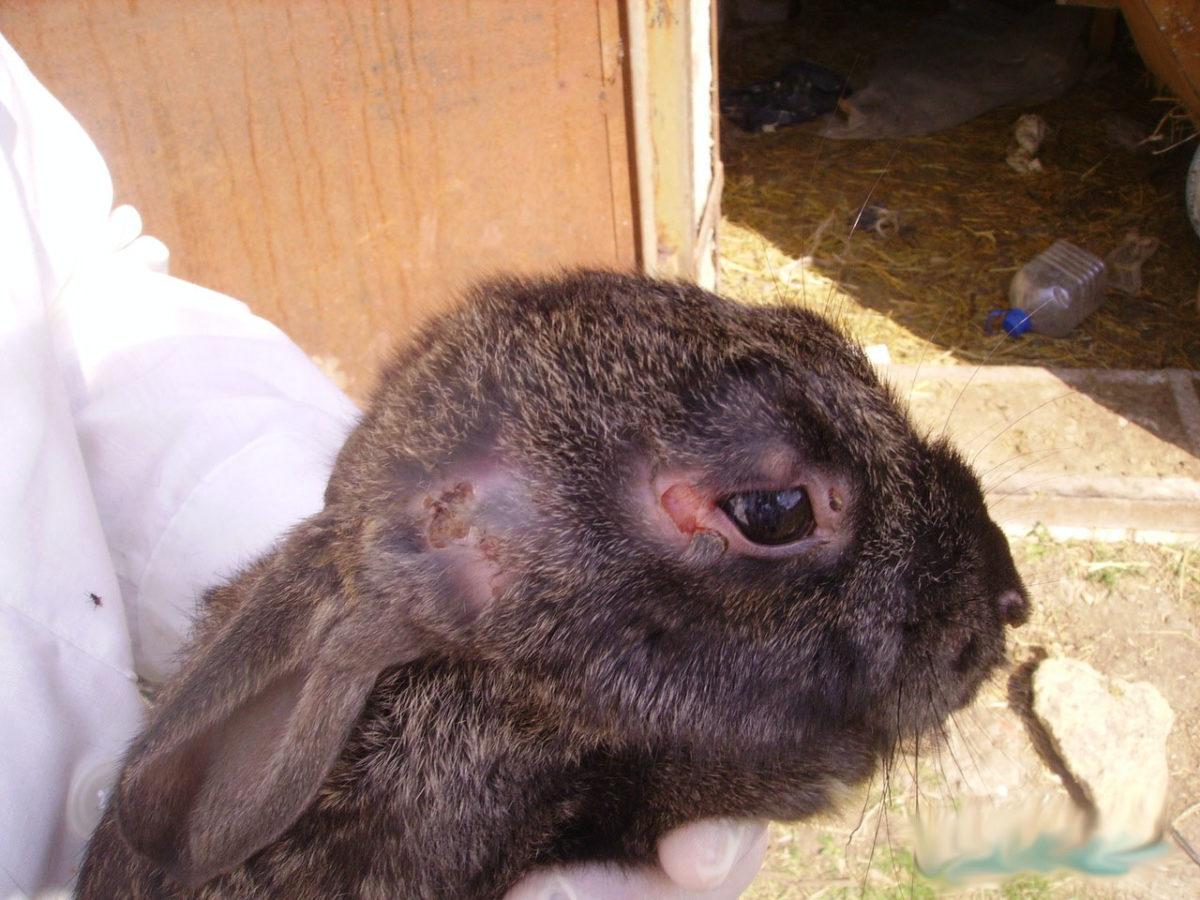 Лечение глаз кролика