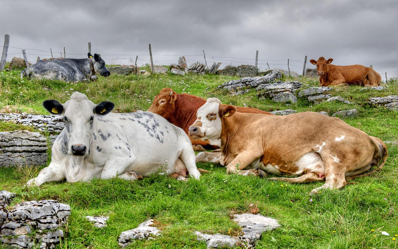 имена коров