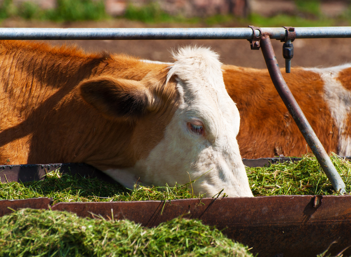 Балансирующий рацион коровы