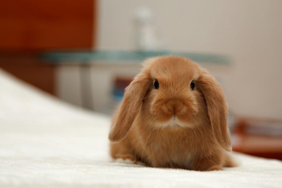 Характер вислоухих кроликов