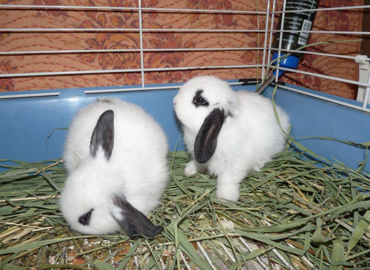 Купание вислоухого кролика