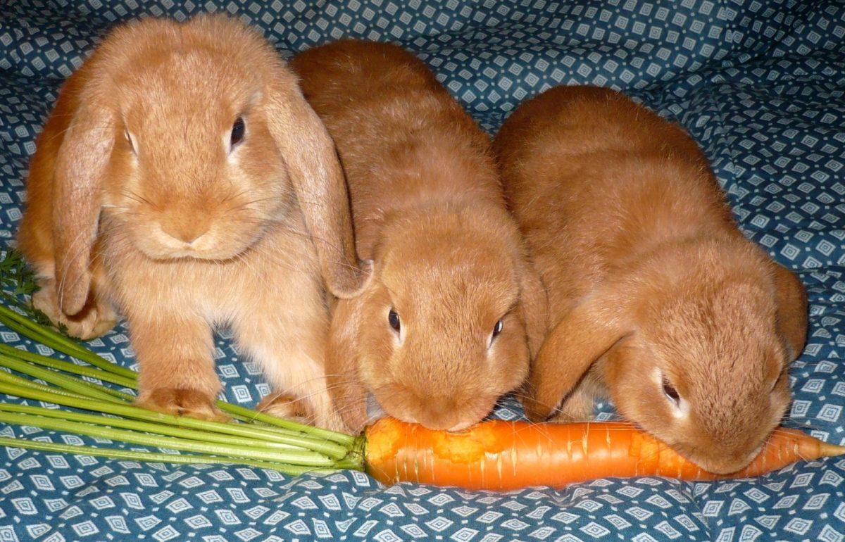 Питание вислоухого кролика