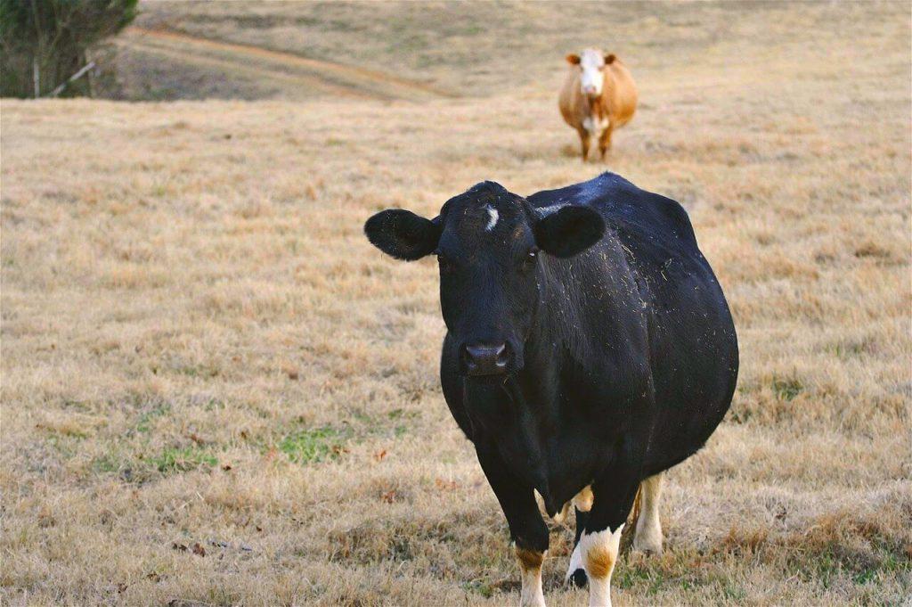 Условия содержания беременной коровы