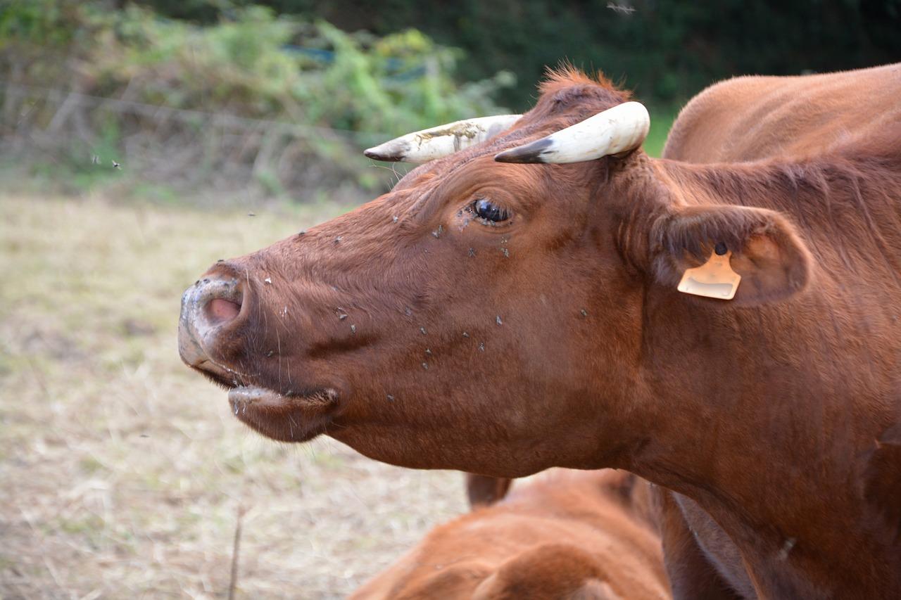Мычание теленка