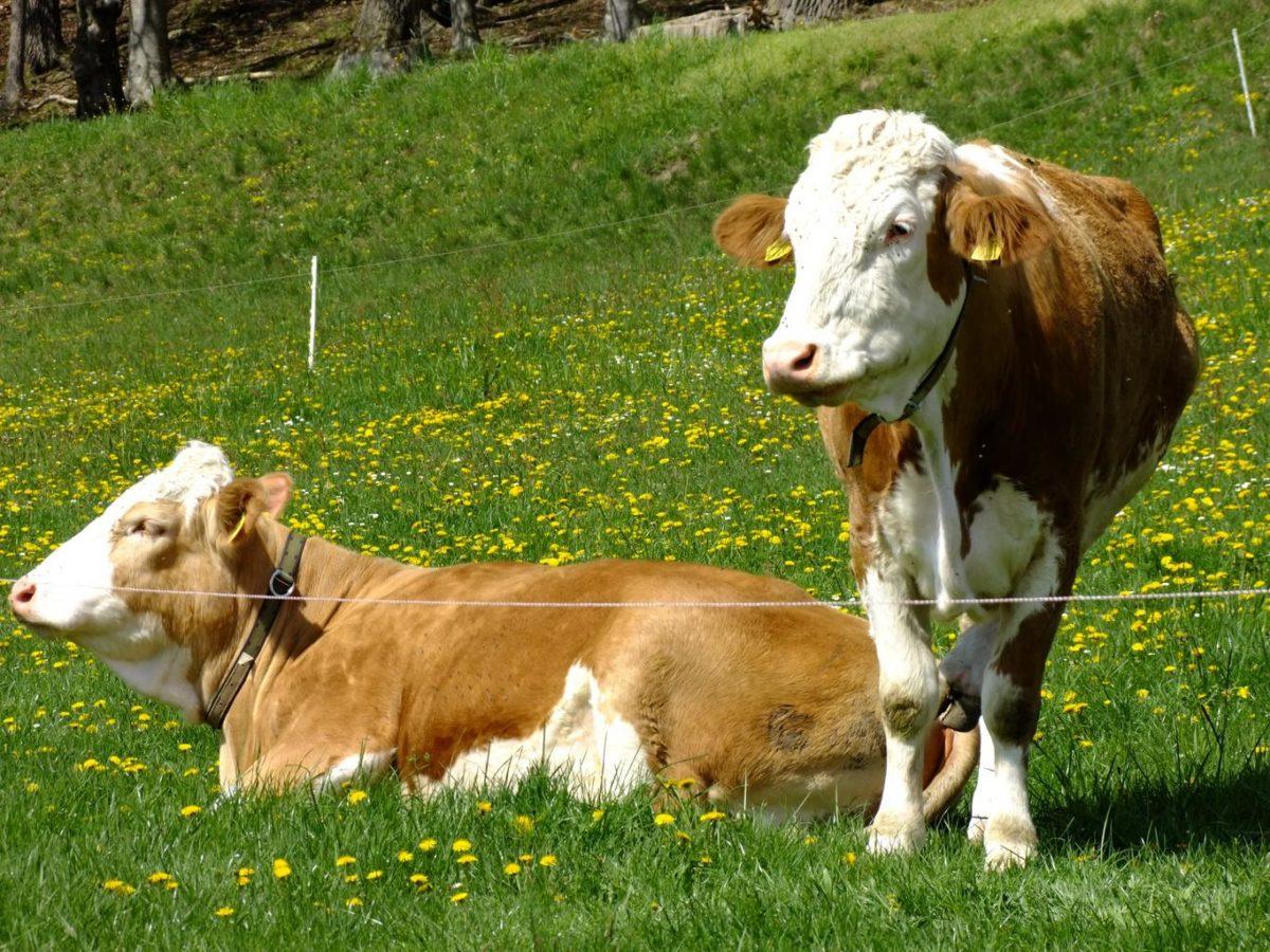 Названия коров