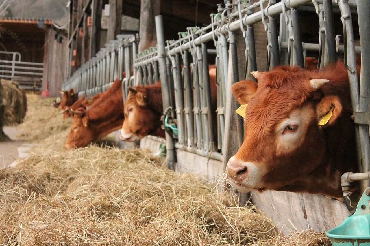 Расчет даты отела коровы