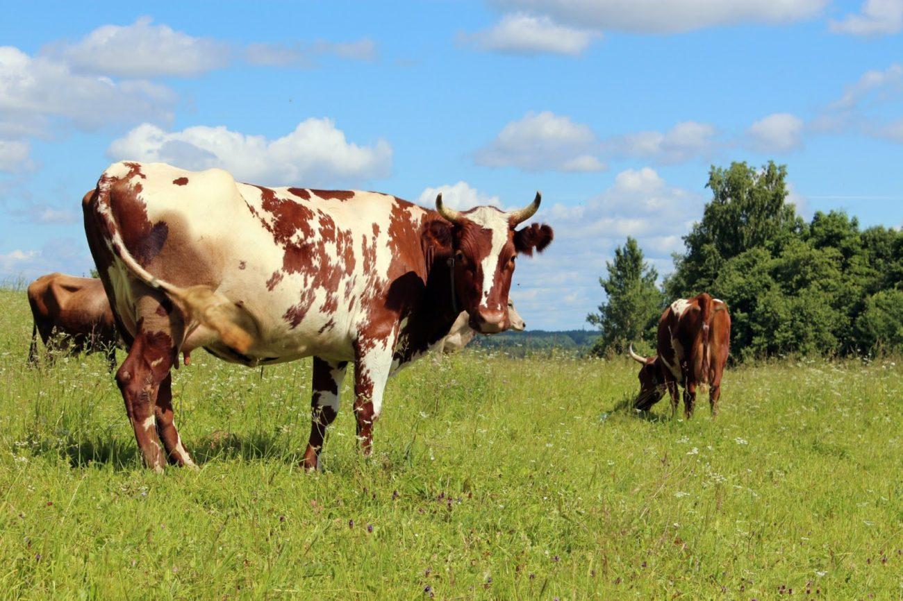 Айрширские алтайские коровы