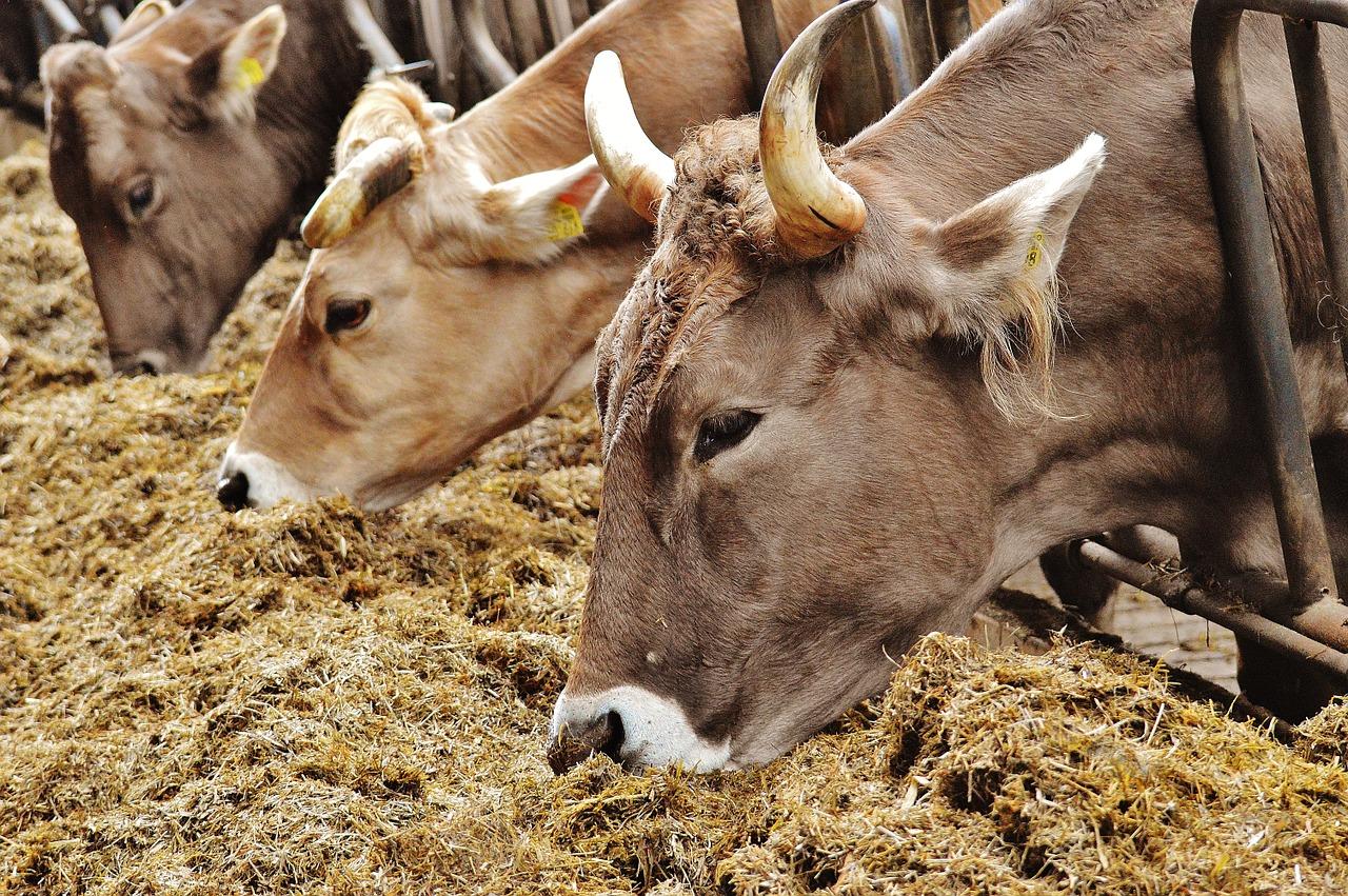 Сколько сена корове нужно