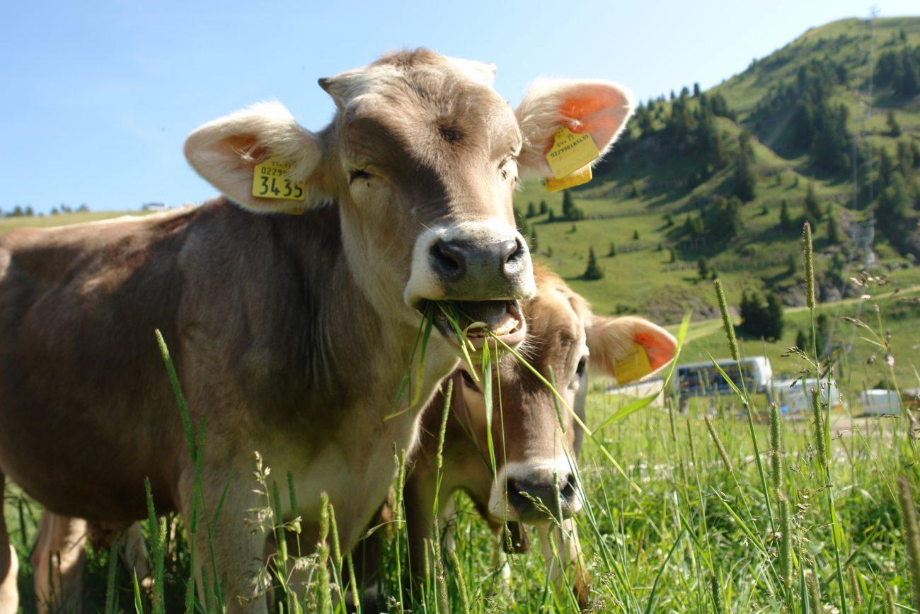 Правильный рацион коровы