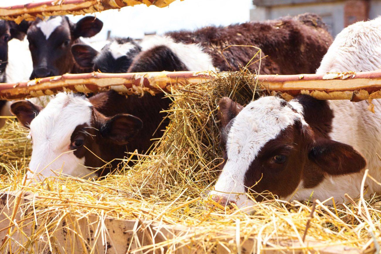 Рацион стельной коровы