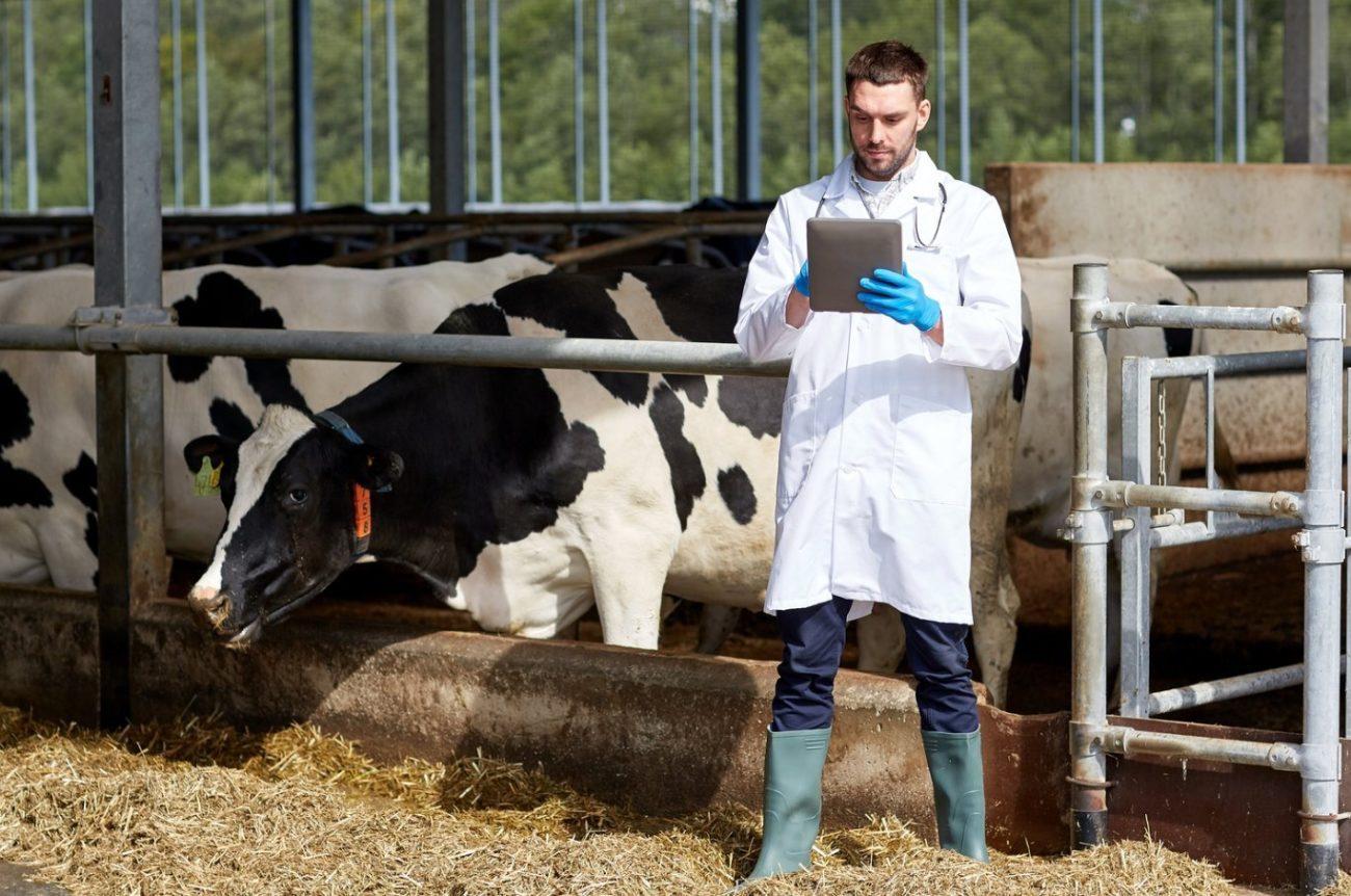Гнойные выделения у коров