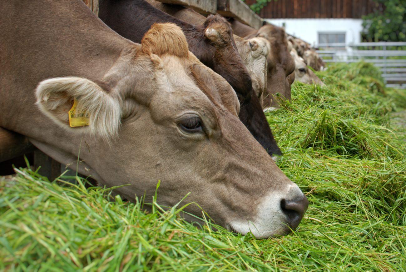 Мясные и комбинированные породы коров