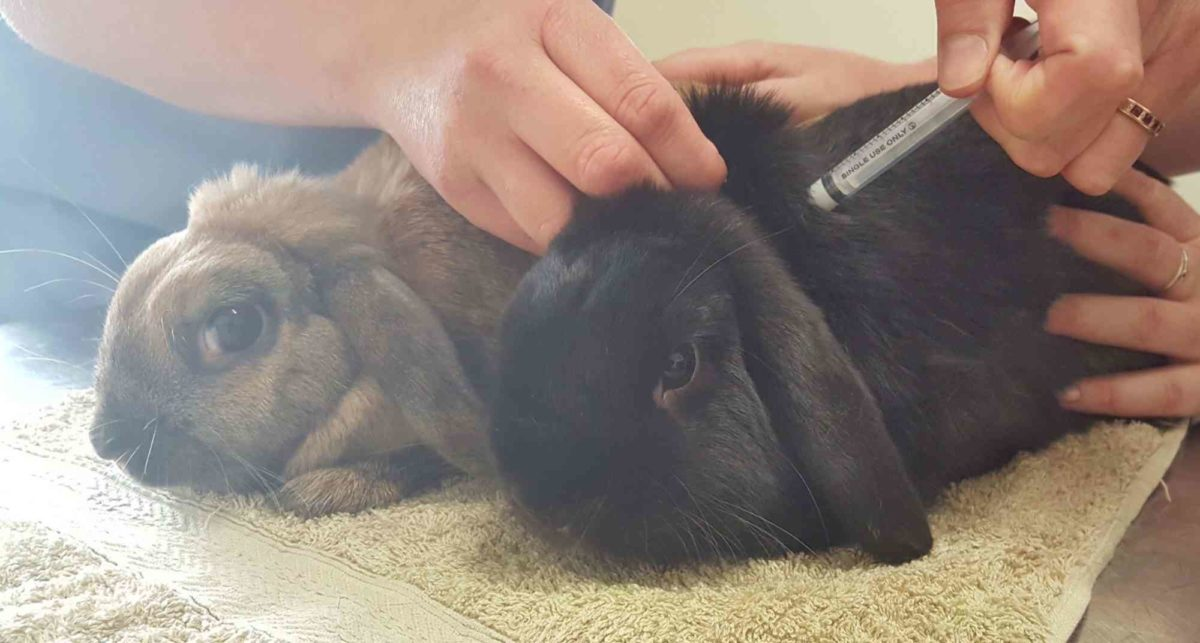 Вакцинация вислоухого кролика