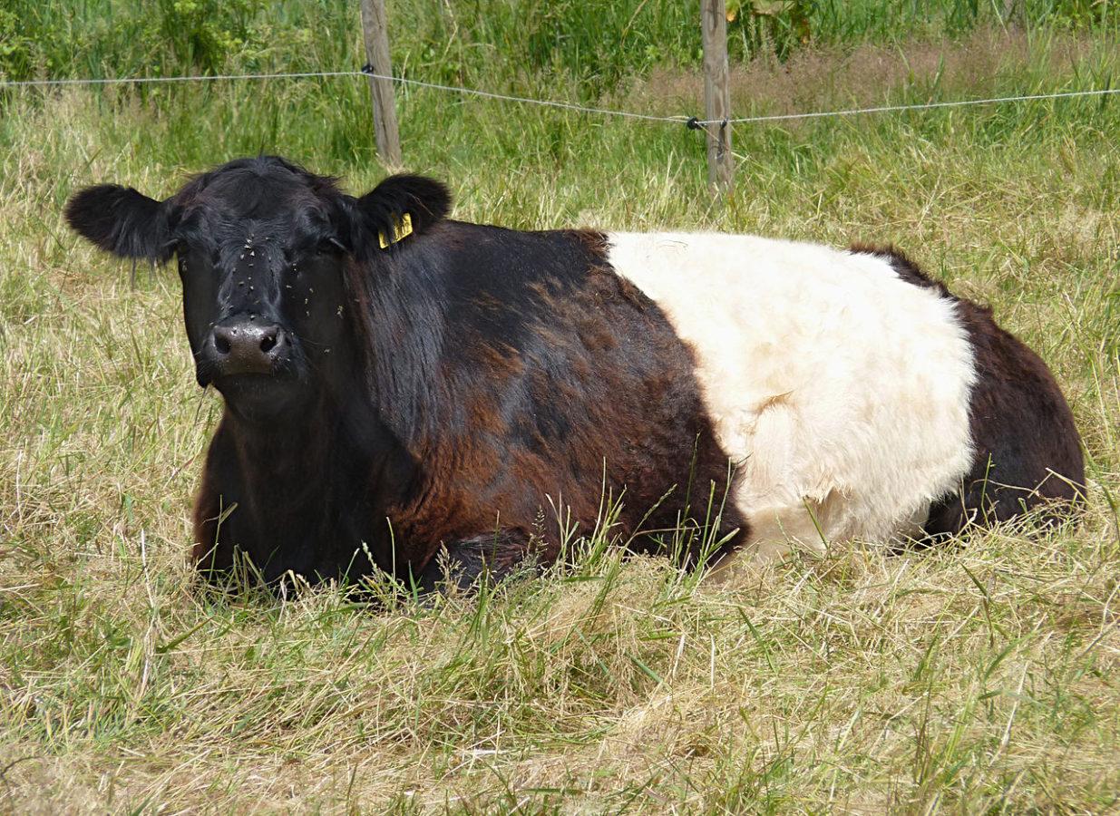Галловейские мясные коровы