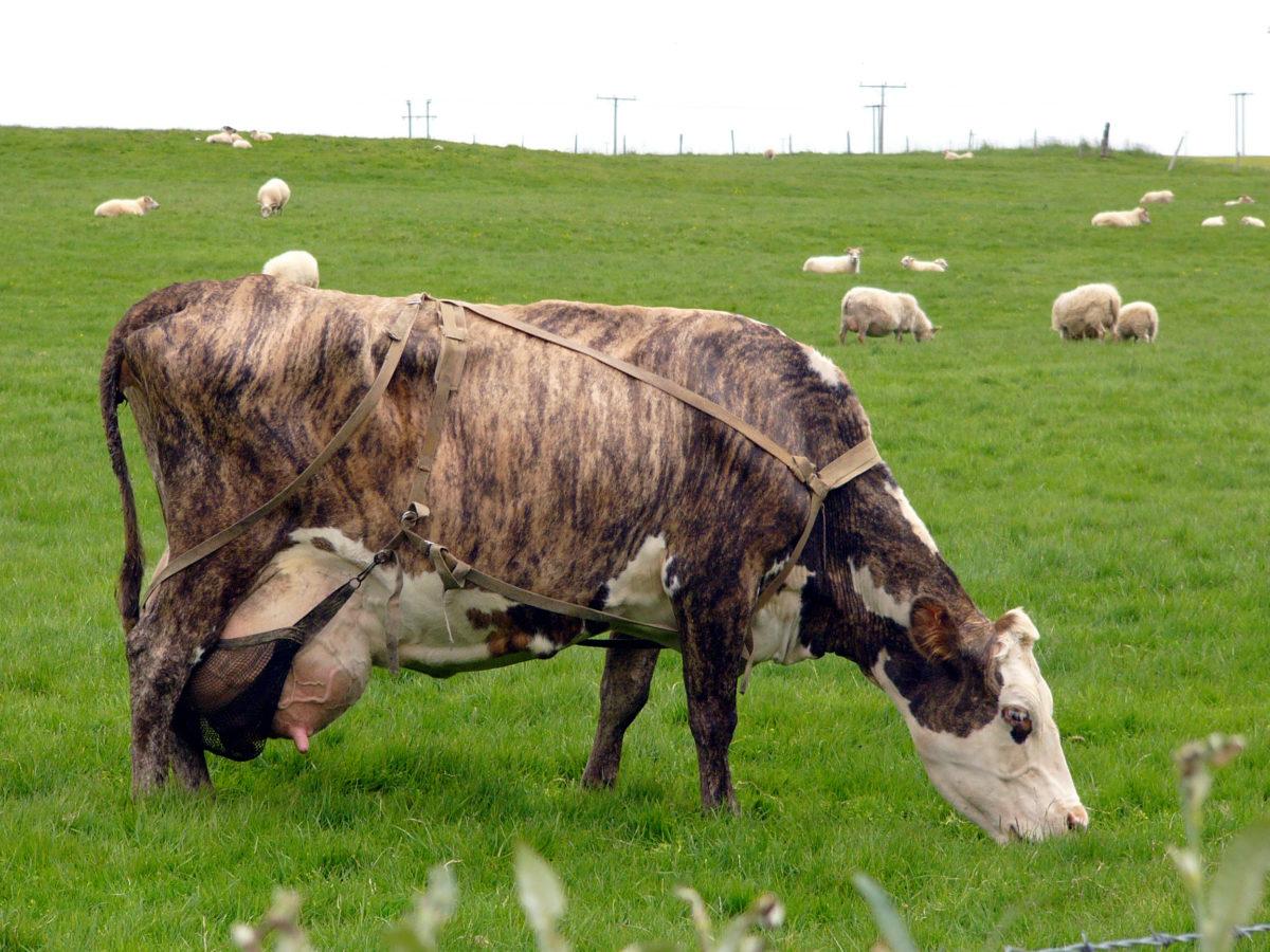 Гасконские мясные коровы