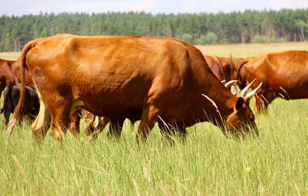 Калмыцкая корова