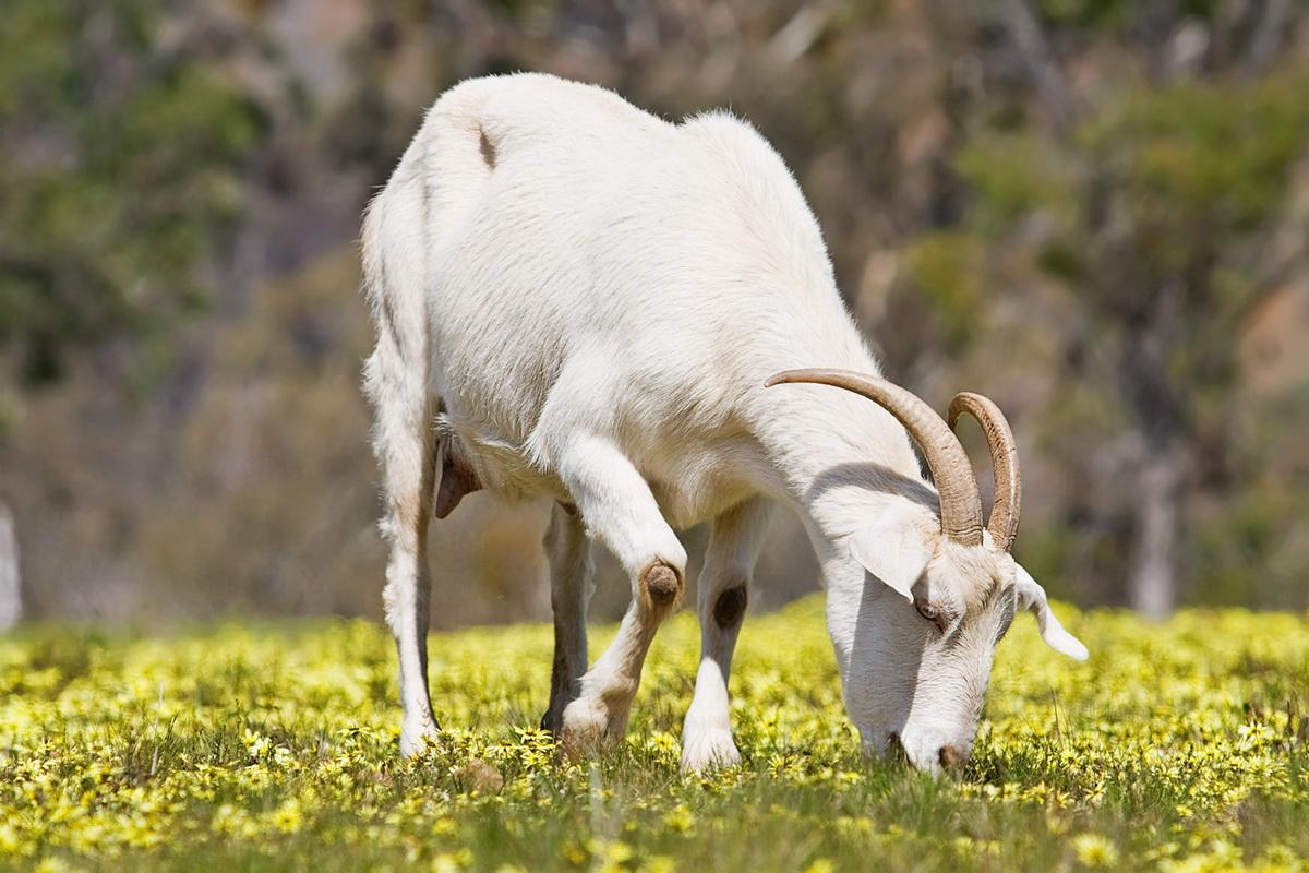 Мегрельские породы коз