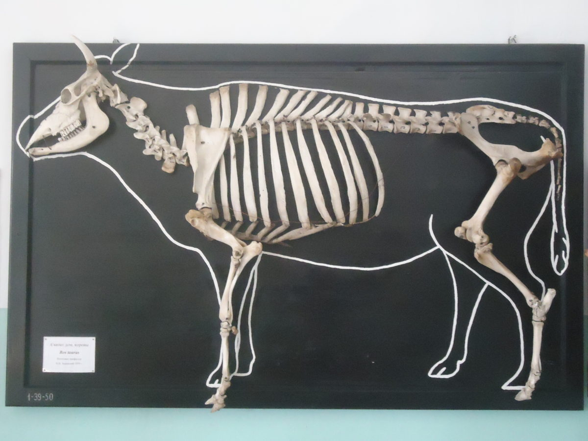 Строение скелеты коровы