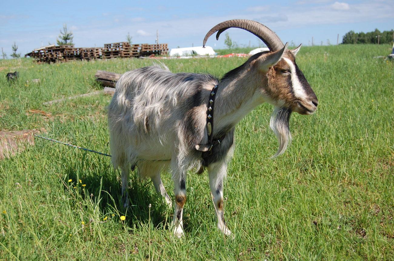 Русские козы без запаха