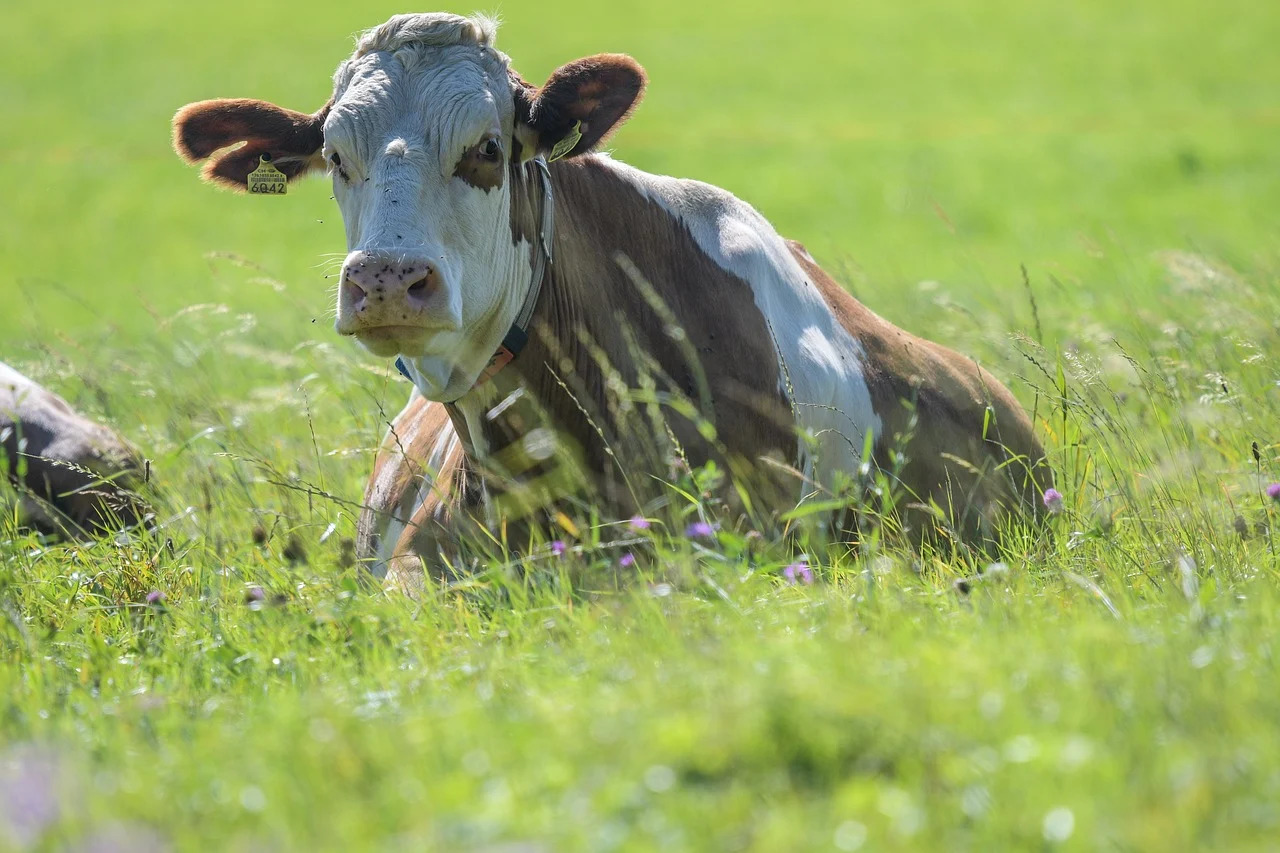 Тело коровы