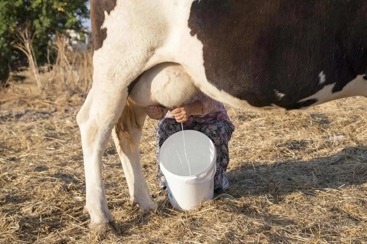 Что влияет на удой коровы
