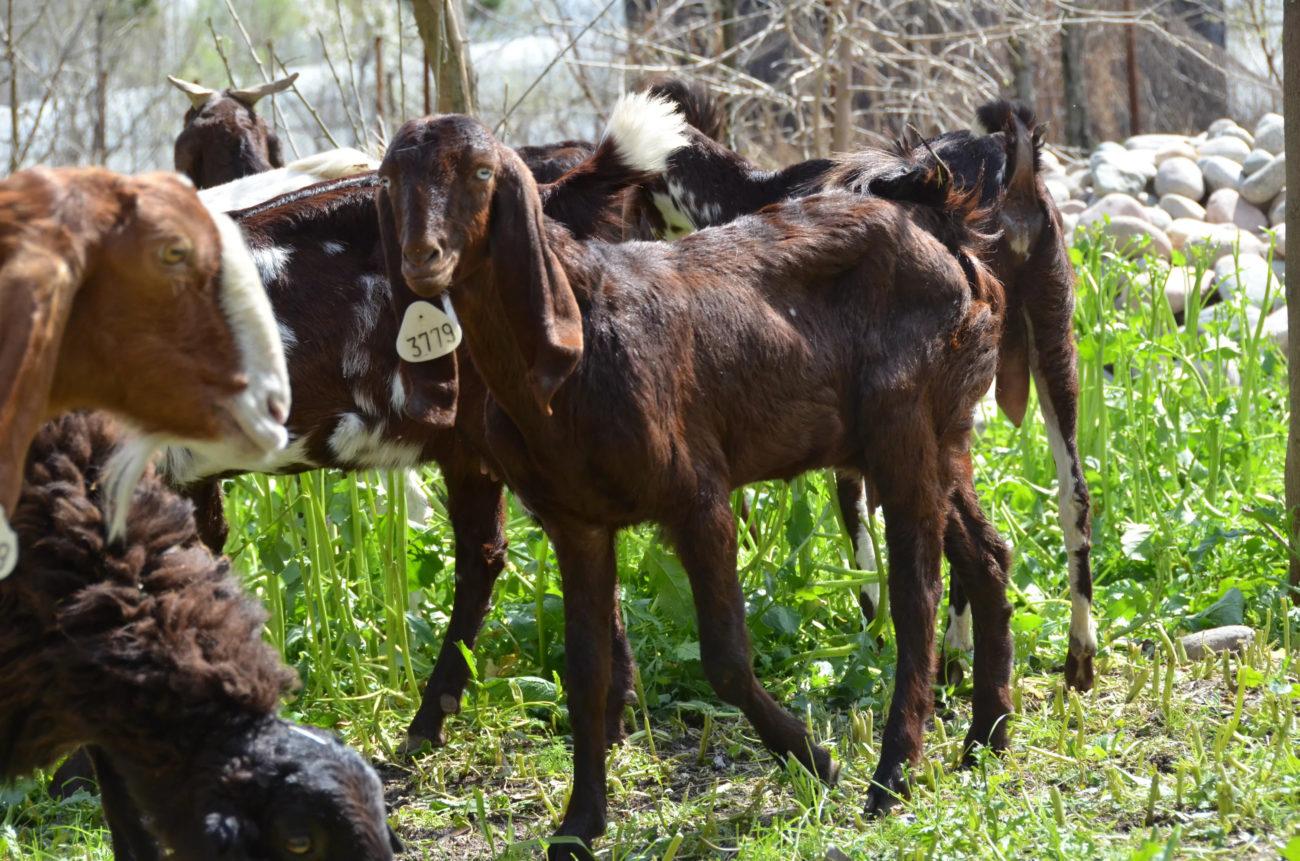 Битал порода коз
