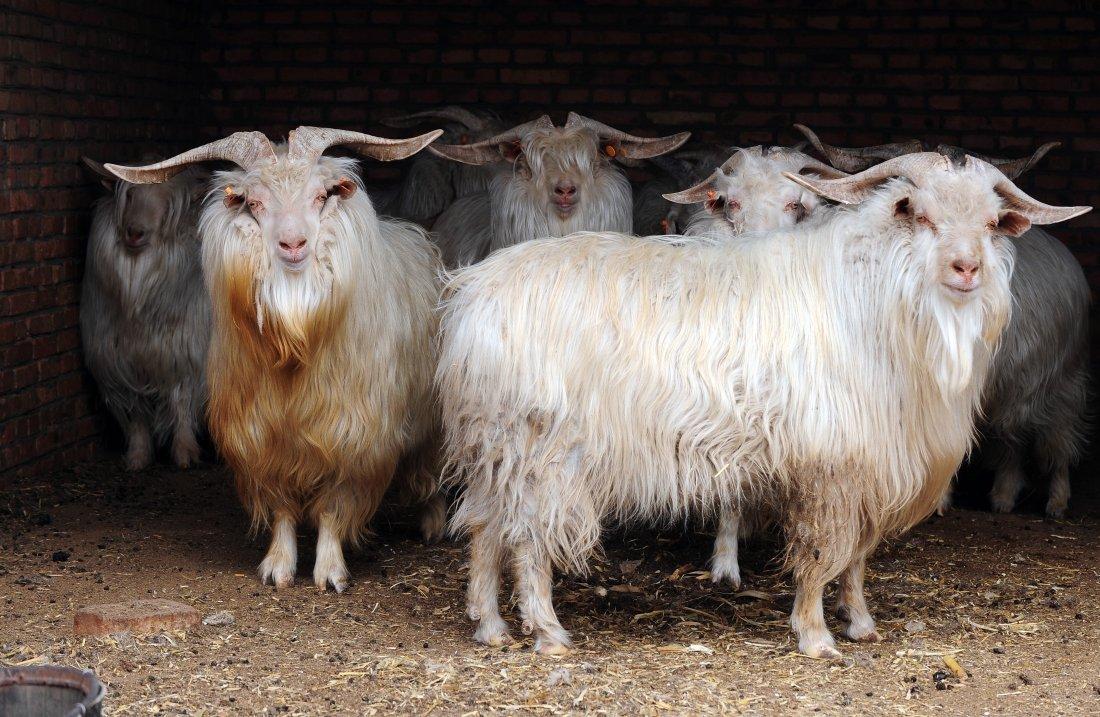 Оренбургские породы коз