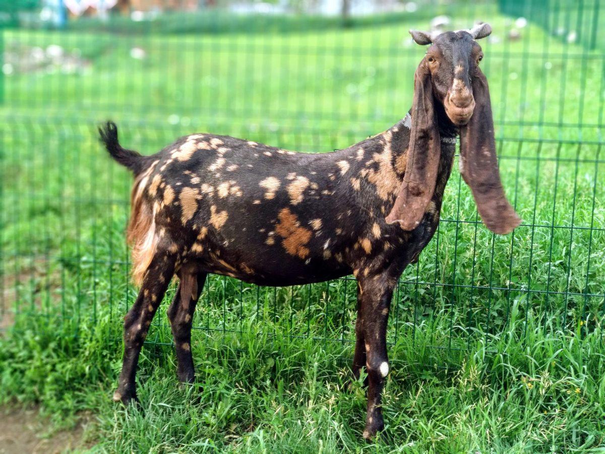 Камори порода коз